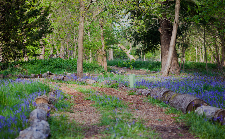 St Margarets School Woodland covered with bluebells on a spring day